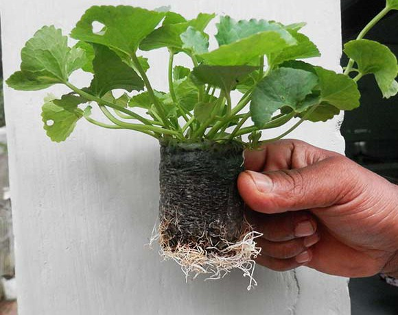Established Plant in Grow pellet